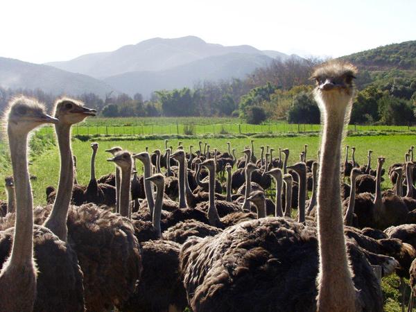 Embassy Ostriches
